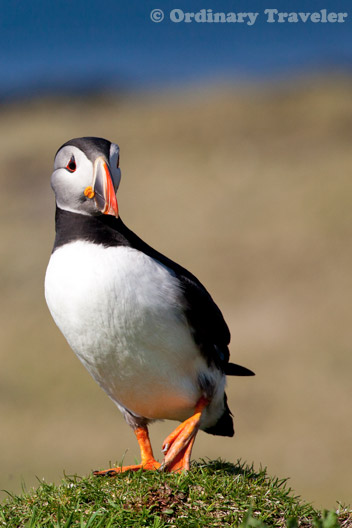 Where to See Puffins Up Close in Scotland