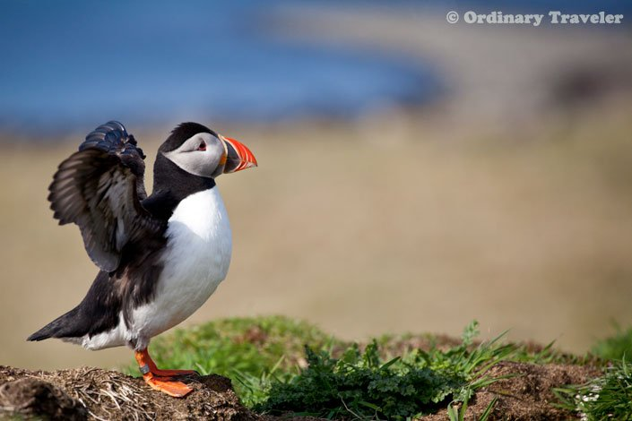 How to See Puffins in the Treshnish Isles of Scotland