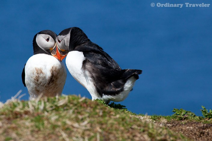 Puffins in Treshnish Isles, Scotland