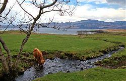 Heilan' Coo - Isle of Mull, Scotland
