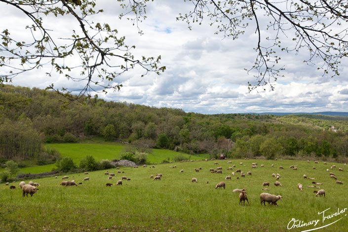 Field of Sheep in the Lot Valley France Near Marcilhac sur Cele