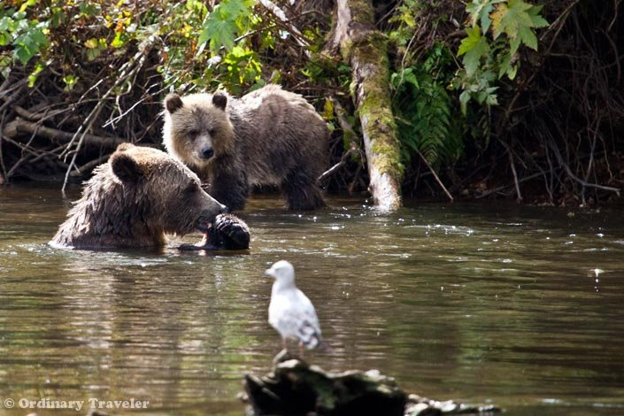 Grizzly Bear Tours in British Columbia, Canada