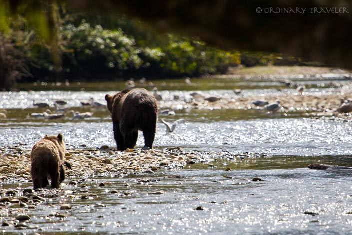 Grizzly Bears in Glendale Cove, North Vancouver Island