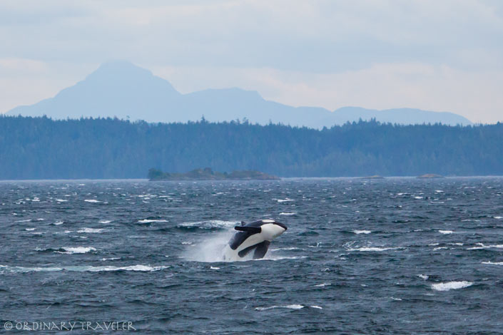 Orca Breach in Telegraph Cove, Vancouver Island