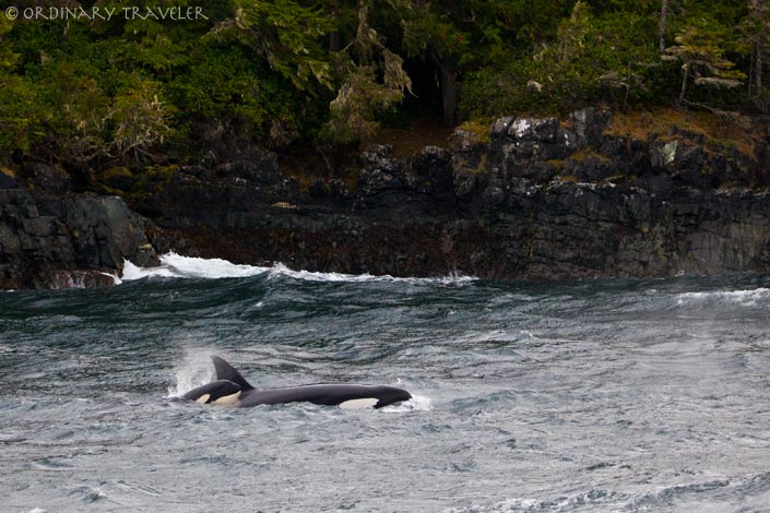 Orcas in Telegraph Cove, North Vancouver Island