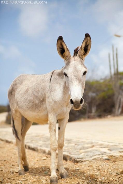 Donkey in Bonaire Caribbean