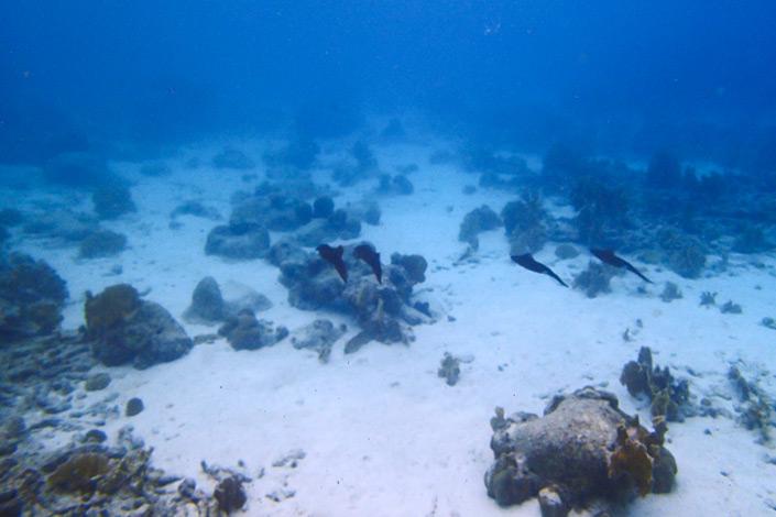 Caribbean Reef Squid in Bonaire, Dutch Caribbean