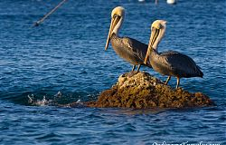 Pelicans on Catalina Island
