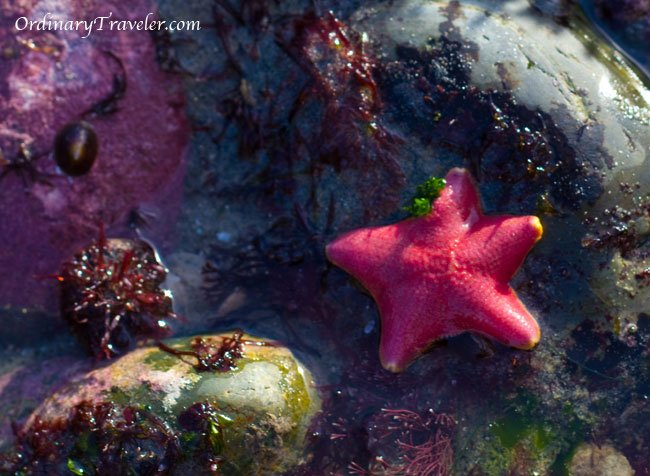 Pink Starfish San Diego Tide Pools