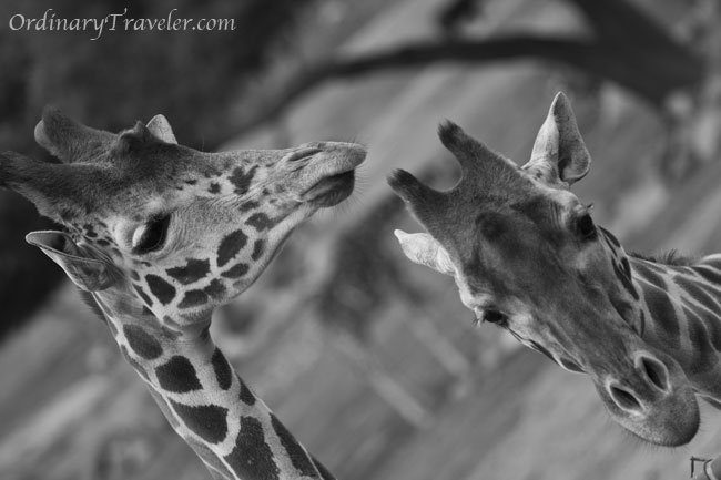 Best Places to Photograph  --San Diego Wild Animal Park