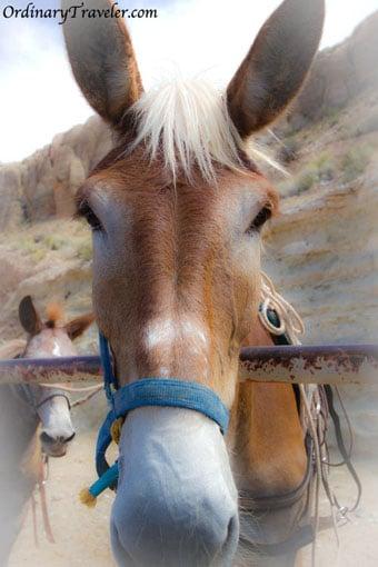 Pack Mule - Havasu Falls, Arizona