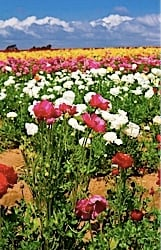 Carlsbad, California Flower Fields