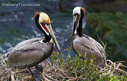 Two Pelicans - San Diego La Jolla Cove