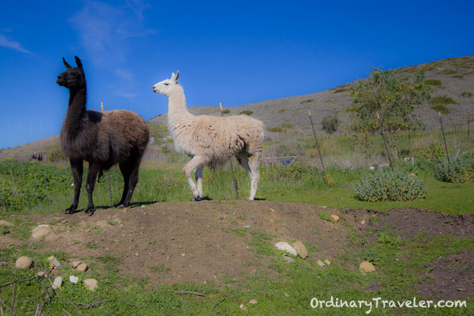 Llama Feeding El Capitan Canyon, Santa Barbara