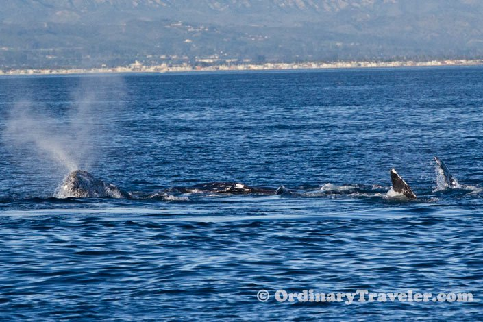 Three Gray Whales off the Channel Islands