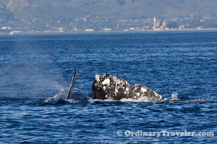 Orcas Attack Three Gray Whales