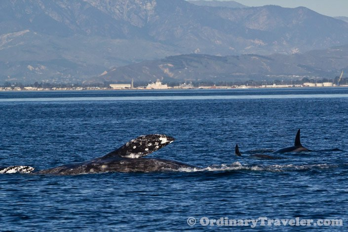 Orcas Attack Gray Whales