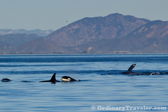 Gray Whales Vs Orcas