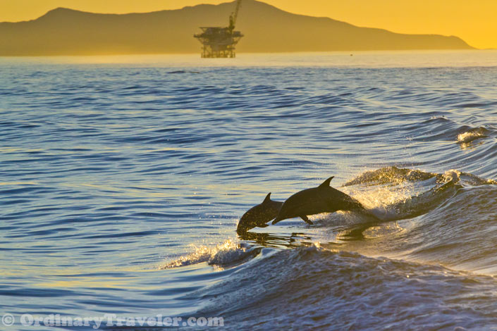 Dolphins Jumping in the Boat Wake