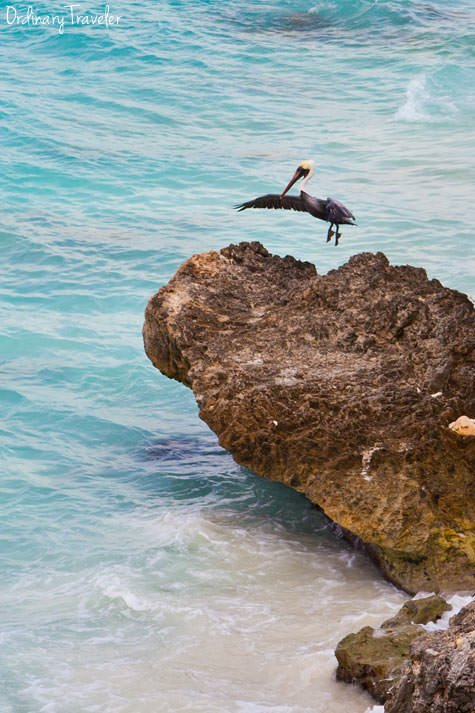 Pelican dance Bonaire Caribbean