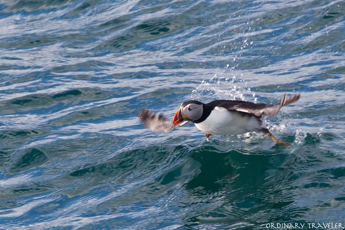 Where to See Puffins in Canada