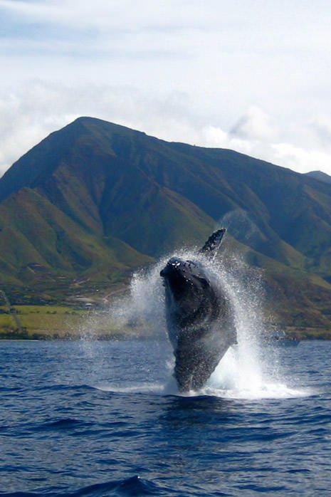winter maui activities whale watching