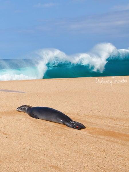Baby Monk Seal Molokai Hawaii