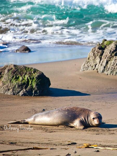 San Simeon, California Beach Seals