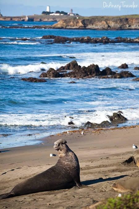 Elephant Seal Rookery Central California