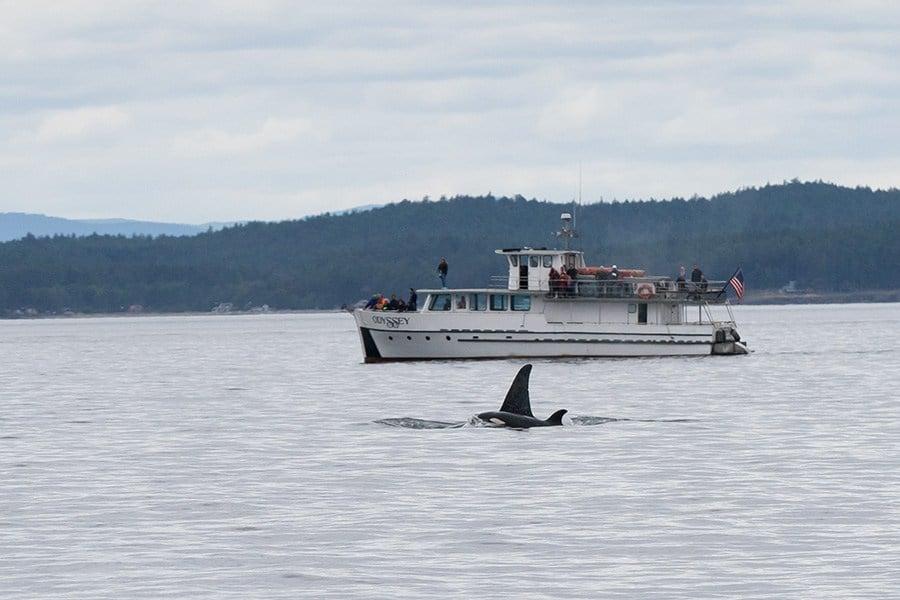 Whale Watching on San Juan Island, Washington